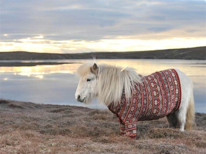 1C5707339-tdy-130124-shetland-ponies-cardigans8.today-inline-large